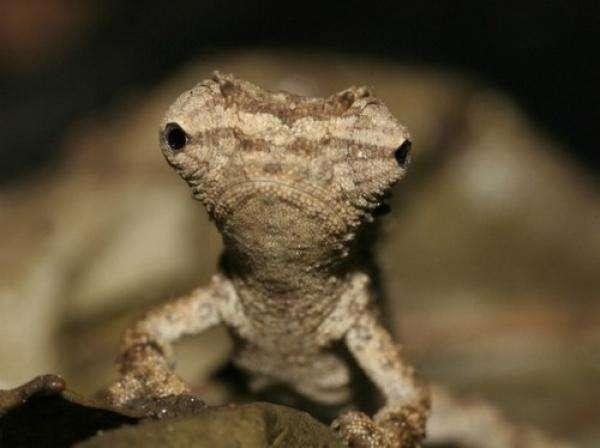 noticias Descubren un camaleón de solo tres centímetros
